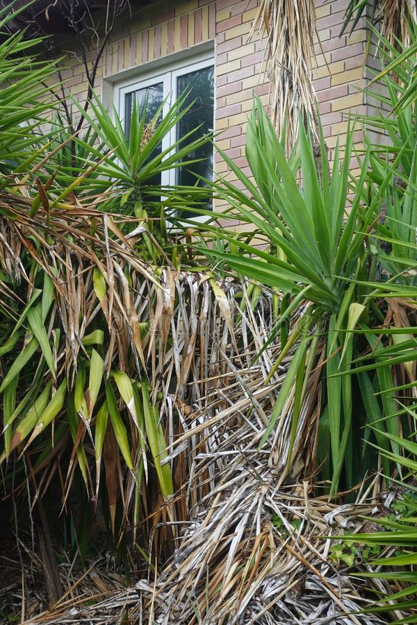 Stary dom i przerośnięte rośliny juki zdjęcie stock