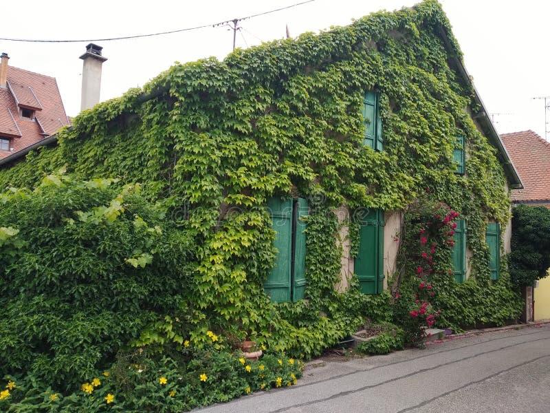 Stary dom zakrywał pełno rośliny w Riquewihr, Francja zdjęcie royalty free