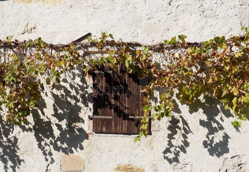 Stary drewniany okno zamyka pod winograd rośliną i swój cienie na nieociosanym bielu izolują tło zdjęcia stock