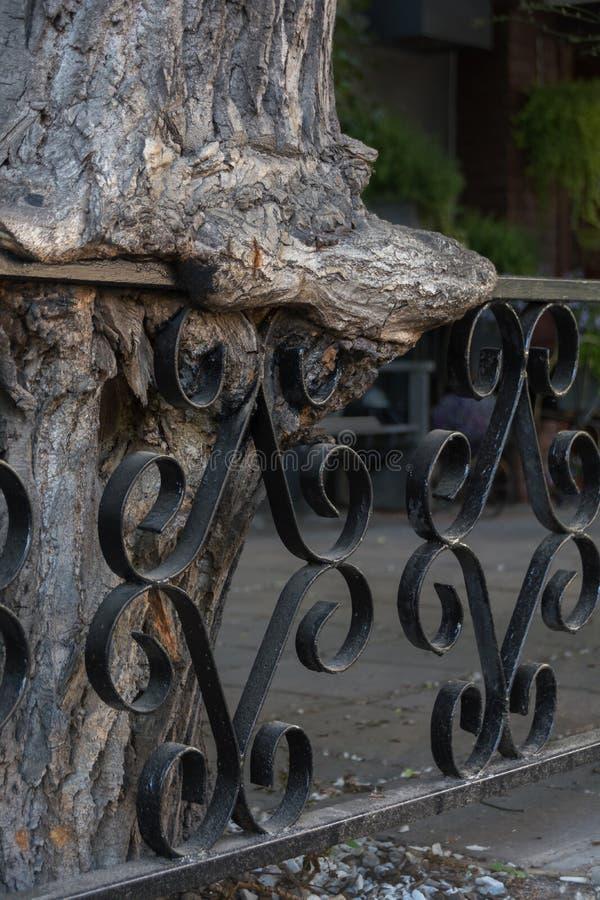Stary Drzewny dorośnięcie przez Dokonanego żelaza ogrodzenia Ogrodzenie zakorzeniający w drzewie zdjęcie royalty free