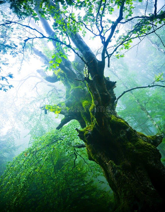 stary drzewo