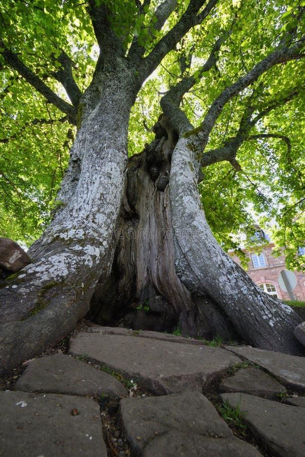 Stary drzewo czyj bagażnik jest poszarpany otwiera jak rana obrazy royalty free