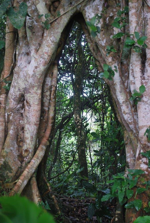 Stary drzewo czyj korzenie rozszczepiają w dwa w dżdżystym lesie w costa rica obrazy stock