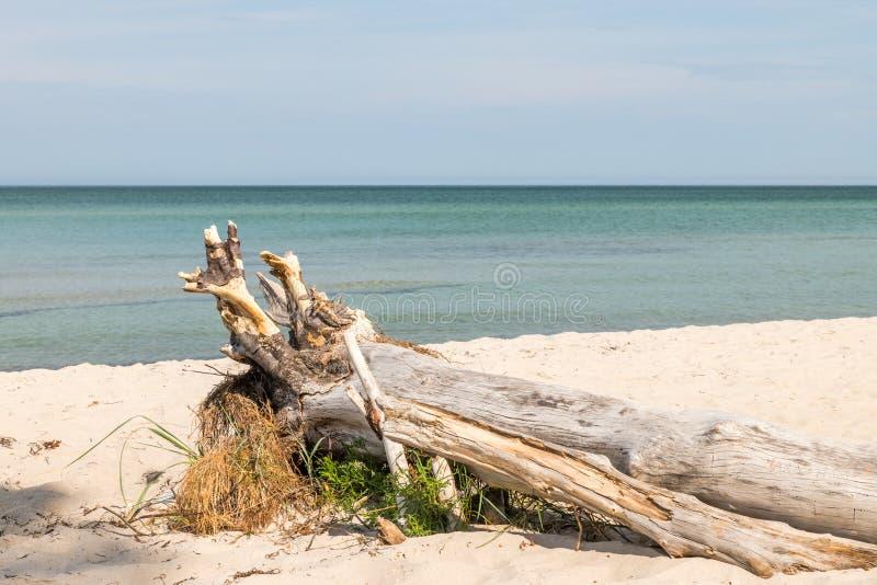 Stary drzewo korzeń wietrzeje na plaży przegapia morze zdjęcie stock