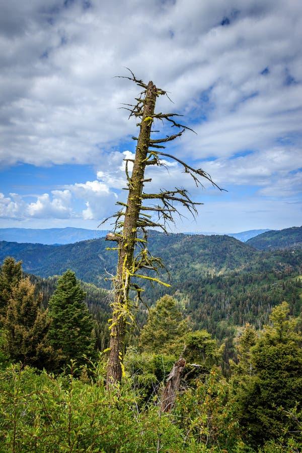 Stary drzewo na górze obrazy royalty free