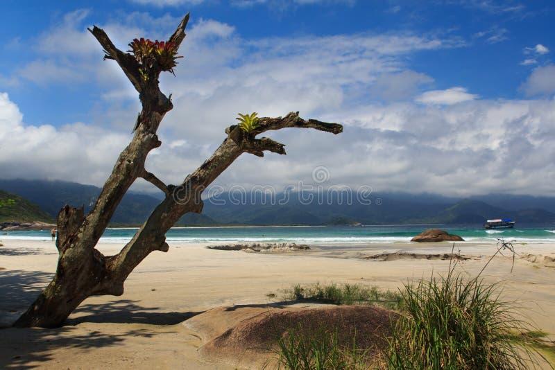 Stary drzewo na plażowym Aventueiro Grande wyspa Ilha, Brazylia obrazy royalty free