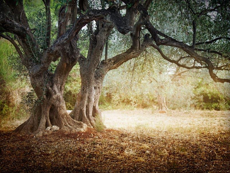 stary drzewo oliwne obraz stock