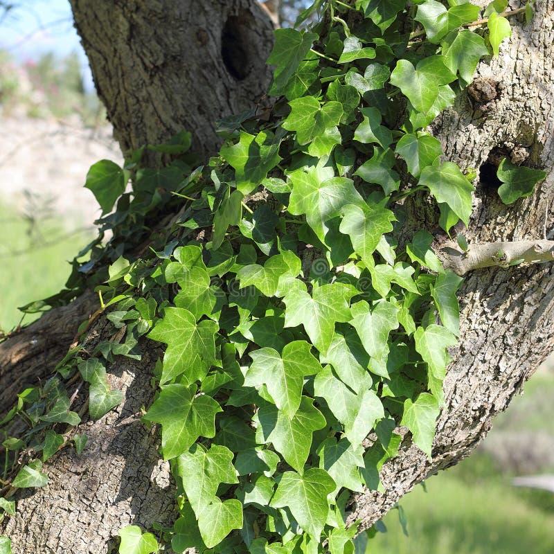 Stary drzewo oliwne przerastający z wiecznozielonym Pospolitym bluszczem, Hedera helix zdjęcia royalty free