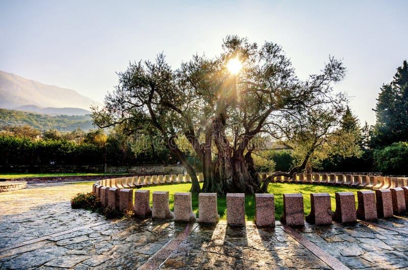 Stary drzewo oliwne w Starym barze, Montenegro fotografia stock