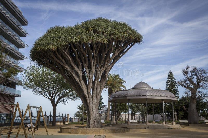 Stary drzewo rozmaitości Dracaena Draco w Genoves parku w Cadiz zdjęcia royalty free