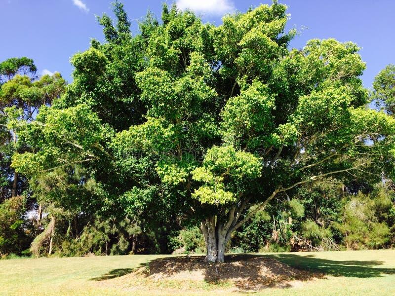 Stary drzewo, Siedzący po środku parkowego Queensland, Australia obrazy royalty free