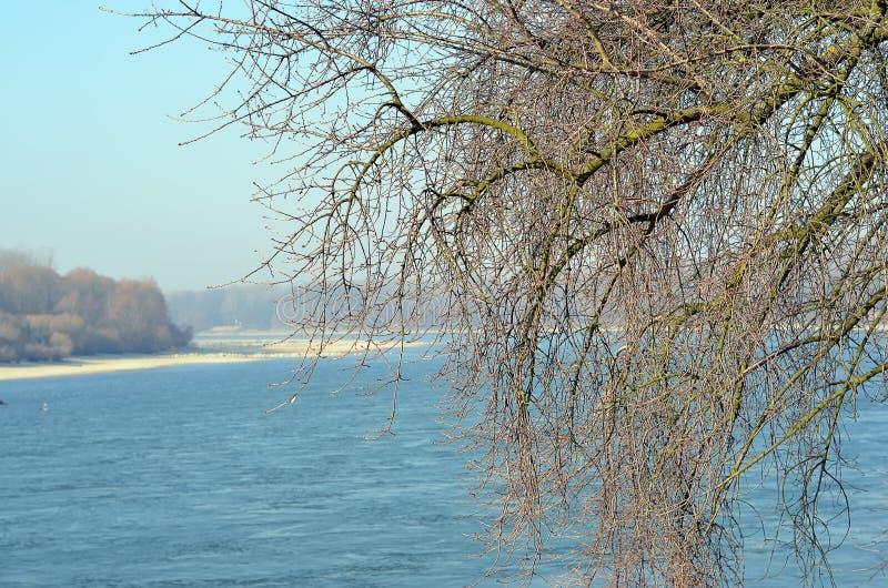 Stary drzewo w Danube rzece i zimie obrazy stock