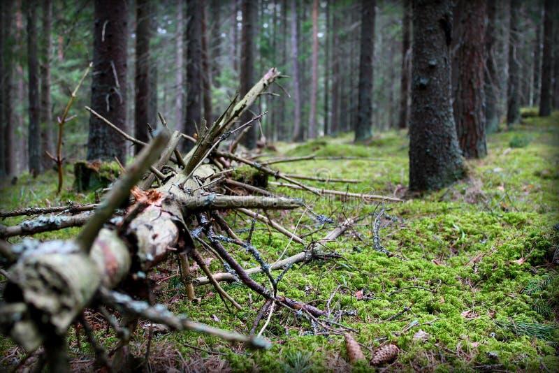 Stary drzewo w dzikiej naturze obraz royalty free