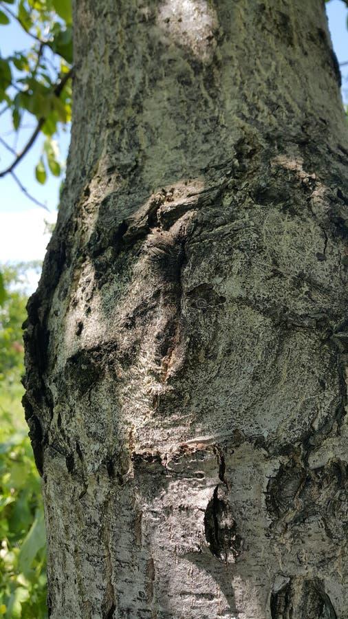 Stary drzewo z ciekawym projektem obraz royalty free