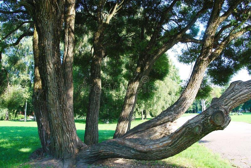 Stary drzewo zadawala passersby w parku zdjęcia royalty free