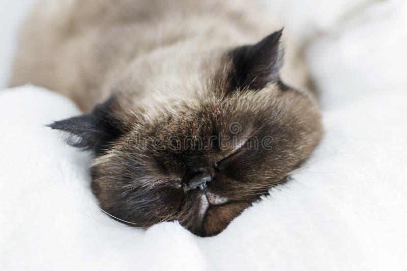 Stary Egzotyczny krótkiego włosy kot relaksuje na białym futerku fotografia royalty free