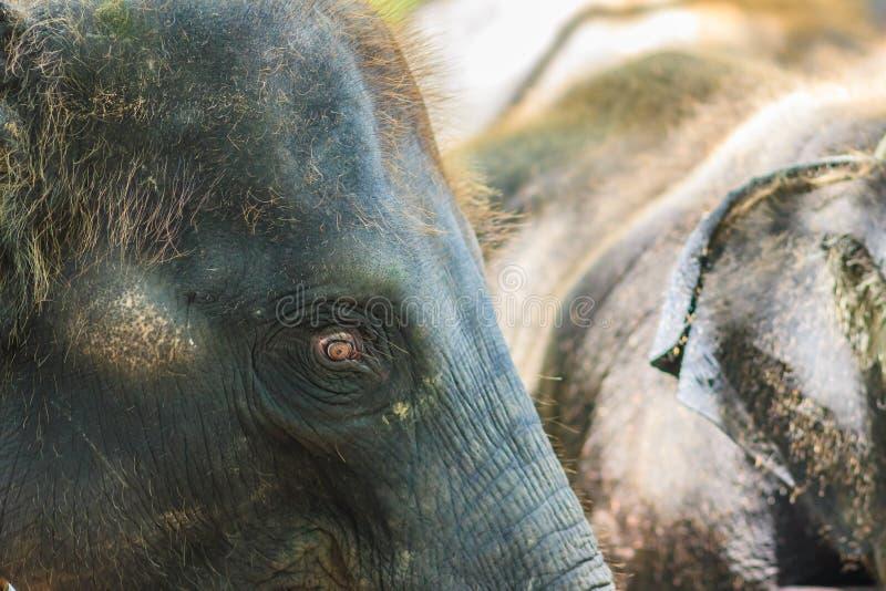 Stary i chuderlawy słoń przykuwają i spojrzenie bardzo żałosny zdjęcia stock