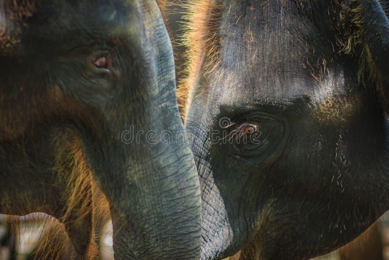 Stary i chuderlawy słoń przykuwają i spojrzenie bardzo żałosny zdjęcie stock
