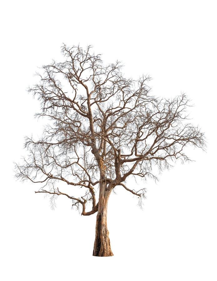 Stary i nieżywy drzewo obraz stock
