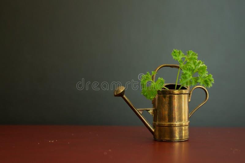 Stary i piękny podlewanie puszki ogrodowy narzędzie z zieloną organicznie pietruszką w nim obraz stock