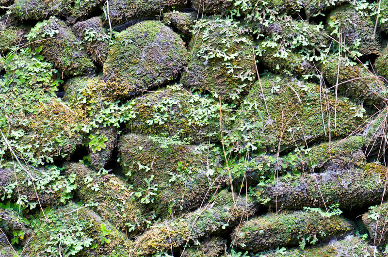 Stary kamiennej ściany zakrywający zielony mech zdjęcia royalty free