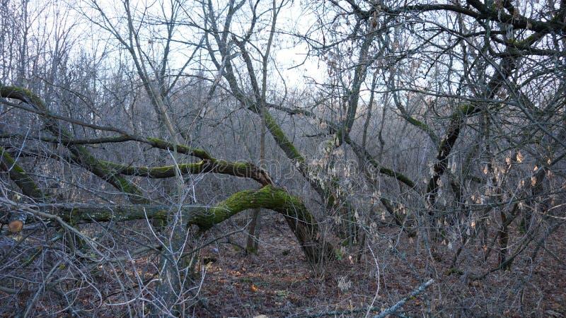 Stary klonowy drzewo przerastający z mech zdjęcie stock