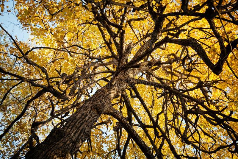 Stary koślawy straszny drzewo w jesieni tle Dziwaczne kręcone gałąź i żółty ulistnienie fotografia stock