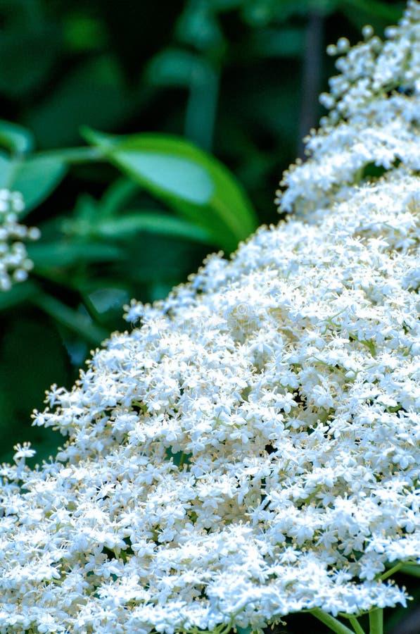 Stary kwiat (Sambucus nigra) obraz royalty free