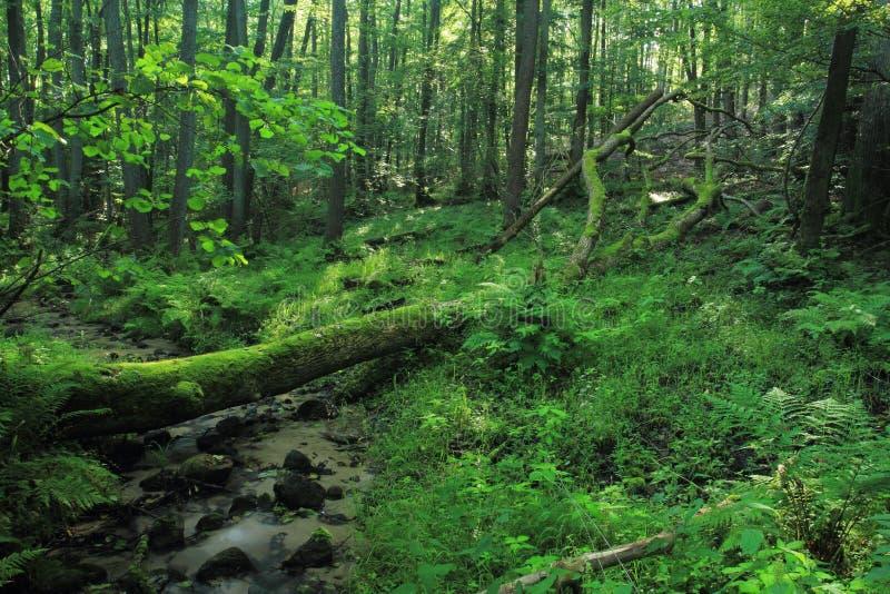 Stary las ze spadajÄ…cymi pniami drzew zdjęcie royalty free