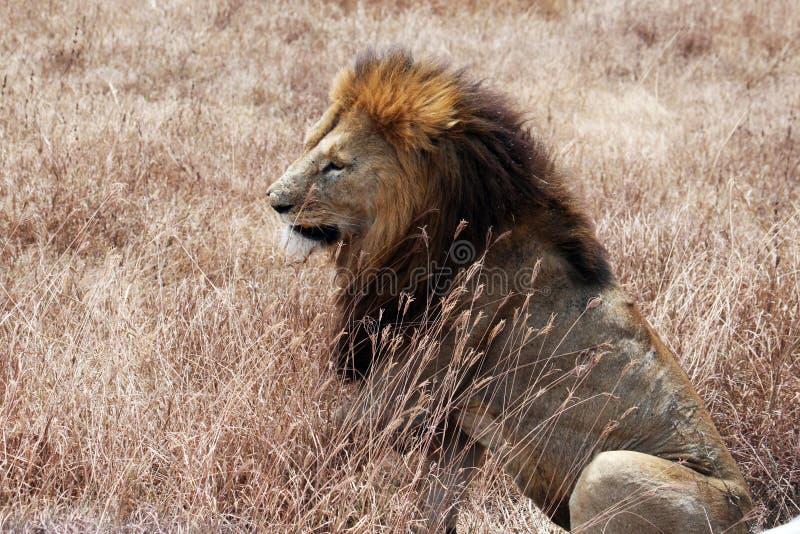 Stary lew zdjęcia royalty free