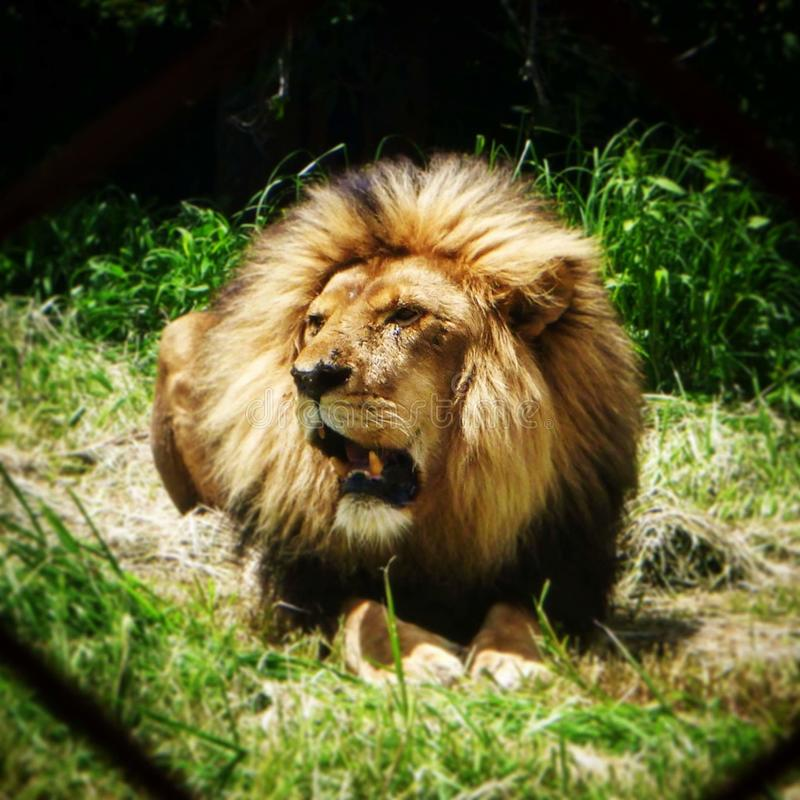 stary lew obrazy royalty free