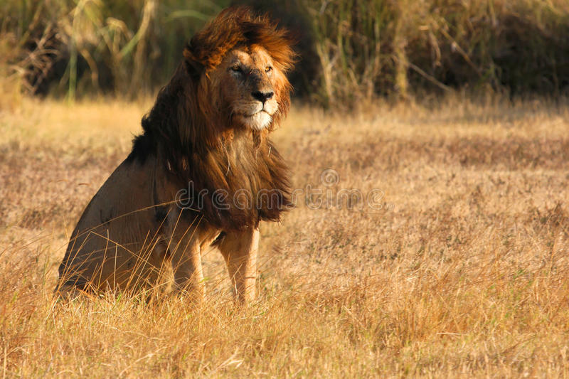Stary lew w zmierzchu Ngorongoro obraz stock