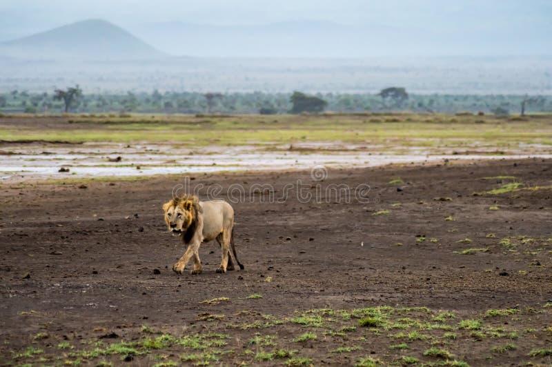 Stary lwa odprowadzenie w sawannie Amboseli park a obraz stock