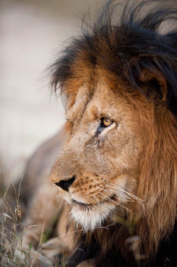 Stary męski lew zdjęcie stock