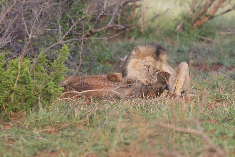 Stary męski lew kopie warthog od swój nory w naturze zdjęcie royalty free