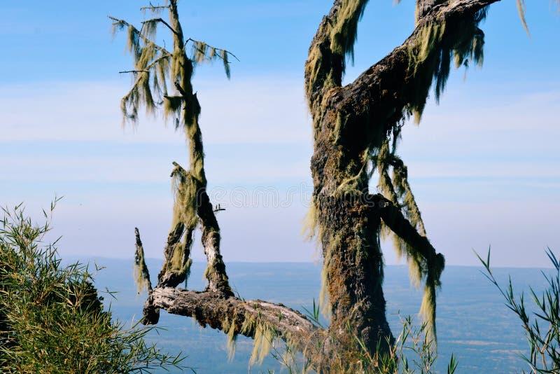 Stary Man&-x27; s brody liszaju dorośnięcie na drzewie w Aberdare Rozciąga się na flankach góra Kenja, Kenja zdjęcie royalty free