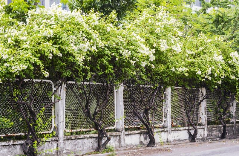 Stary metal siatki ogrodzenie z białym bougainvillea kwitnie fotografia stock