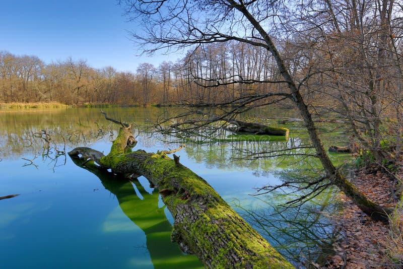 Stary nieżywy drzewo na jeziorze zdjęcie royalty free