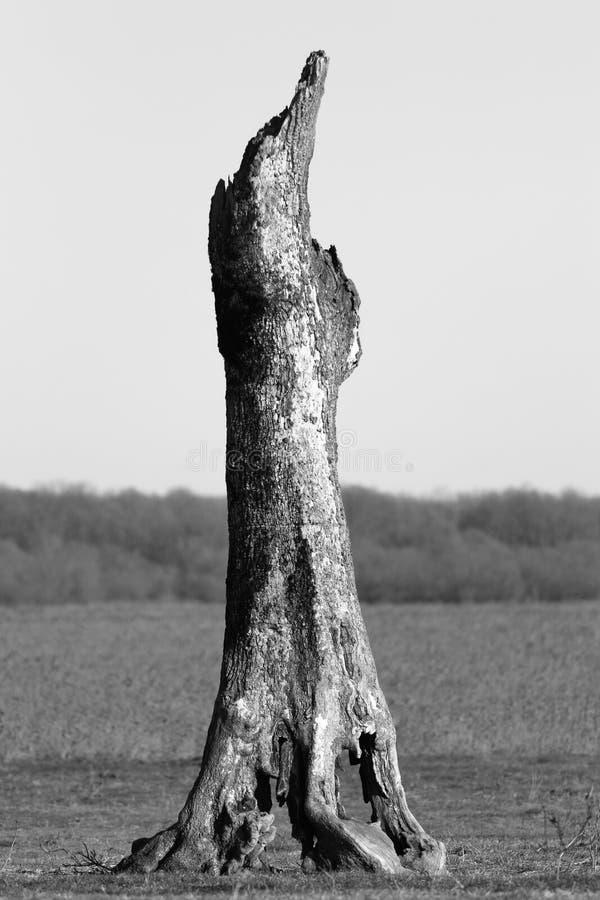 Stary nieżywy drzewo w polu obraz royalty free