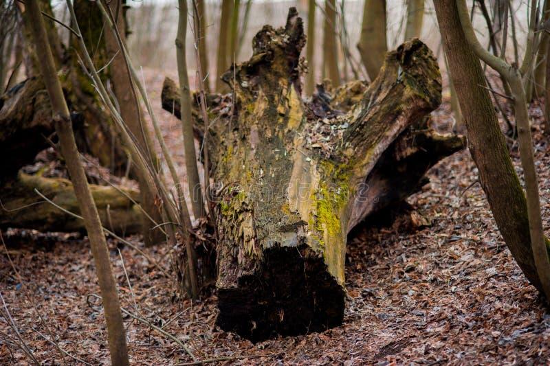 stary ostry tekstury drewna Drewniana tekstura Drewniany tło szczegółu drzewo tła promieni zamknięty felling drzewo zamknięty Kre fotografia royalty free