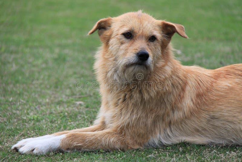 stary pies obraz royalty free
