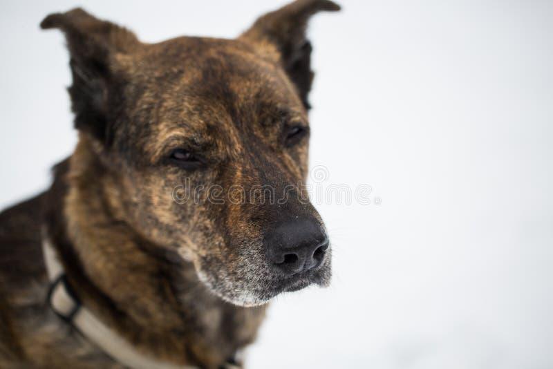 Stary pies patrzeje skeptical, niemieckiej bacy mieszanką, obraz royalty free