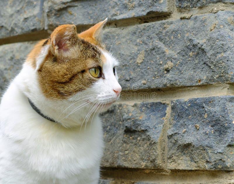 Stary poważny wielo- koloru imbir, biel, czarnego kota zakończenia plenerowy portret fotografia royalty free