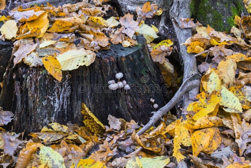 Stary przegniły fiszorek posypujący z spadać liśćmi i przerastający z różnorodnymi pieczarkami fotografia stock