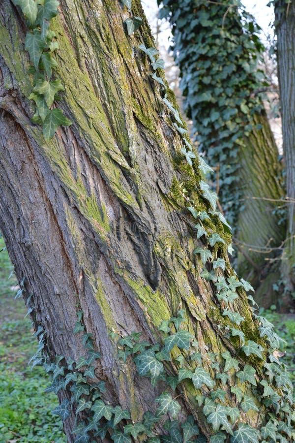 Stary przerastający drzewo z liścia zamknięty up obraz stock