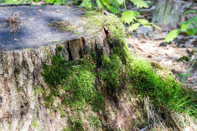 Stary rżnięty drzewny bagażnik z gruzu mech i zielenią zdjęcia royalty free