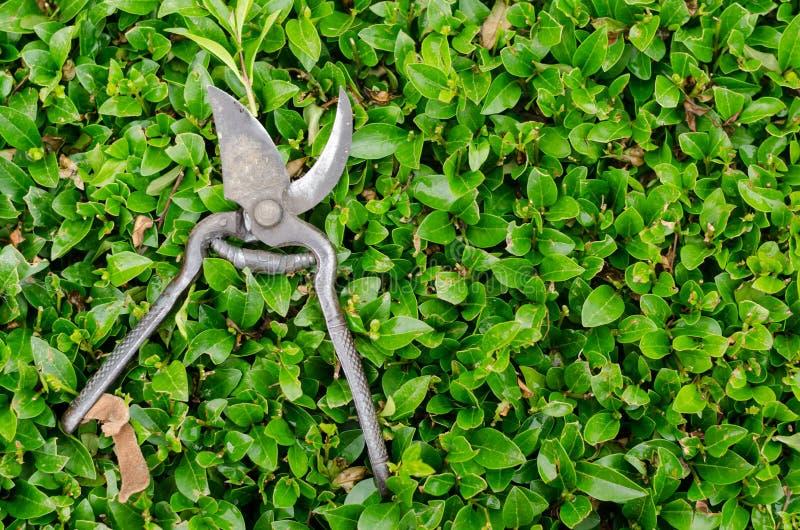 Stary secateur narzędzie, nożycowy dla use z rośliny use dla/dekorujemy ogród stawiającego dalej zielonego krzaka Secateur robi o zdjęcia stock