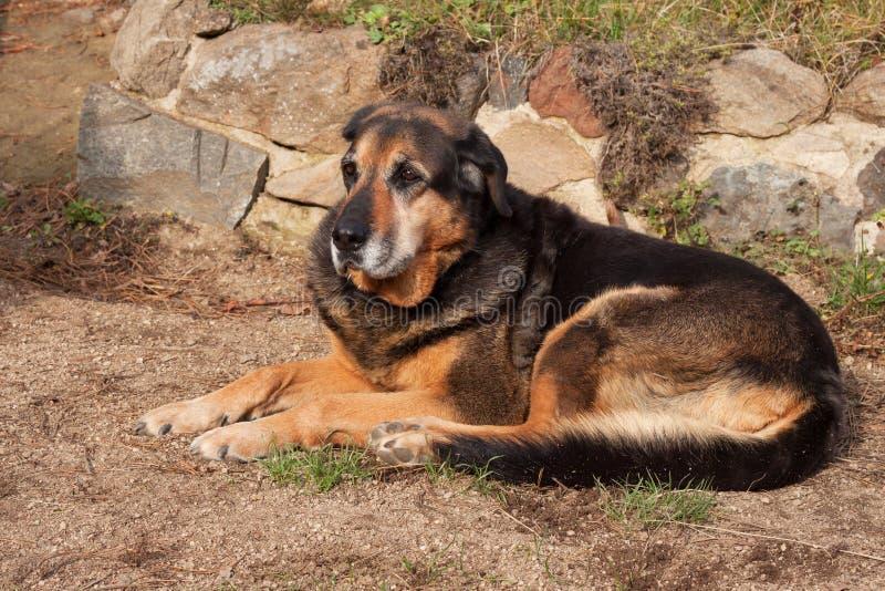 Stary smutny psi lying on the beach w ogródzie Smutny spojrzenie Odpoczynek w starości psia choroby zdjęcie royalty free