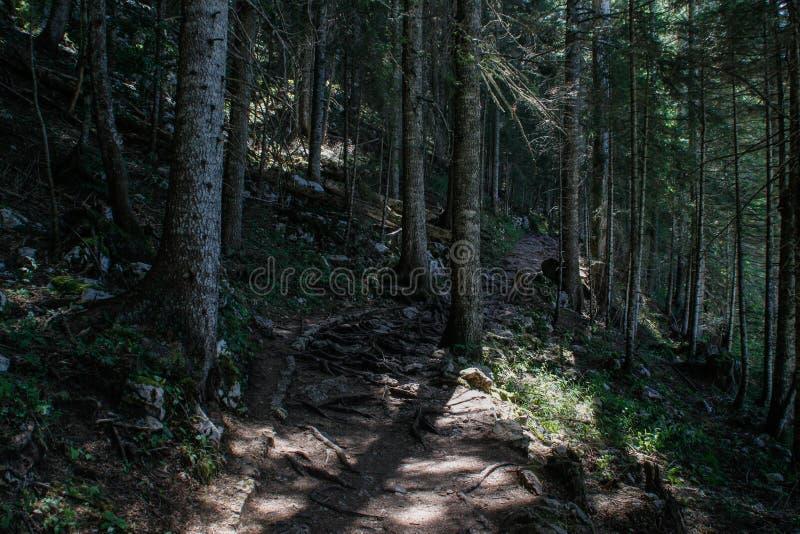 Stary sosnowy las w Durmitor parku narodowym, Montenegro zdjęcie stock