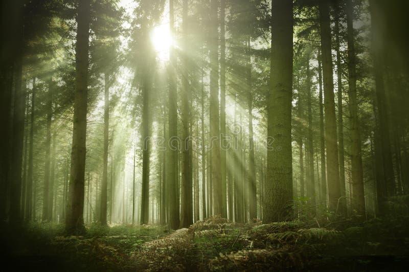 Stary Sosnowy las W jesieni świetle słonecznym zdjęcia royalty free
